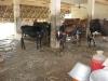 Goshala - Cattle house
